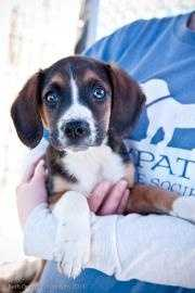 Zorro is almost 3 months old and is looking for a new home! He is a hound mix who has been neutered. To meet Zorro, click here.