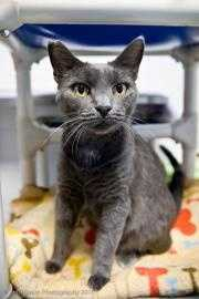 Bode is a 5 year old Russian Blue mix. He was found as a stray, and doesn't like to be picked up. He does love to sit in your lap and purr non-stop. Bode would do best with older or no children and/or a submissive cat. For more on Bode, click here.