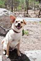 Buddy is a 2.5 year old Chihuahua mix who would be a great walking or running partner. He's lived with another dog, but cannot live with cats or children under 13. To meet Buddy, click here.