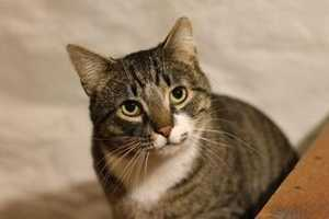 Calvin is 1.5 years old and sweet as can be. Calvin tested positive for FIV, which is not a life threatening problem or harmful to people, but should only an only cat or be placed with other FIV+ cats. For more on Calvin, click here.