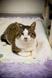 Checkers is 4 years old and loves people. Checkers tested positive for FIV, which is not a life threatening problem or harmful to people, but should only an only cat or be placed with other FIV+ cats. For more on Checkers, click here.