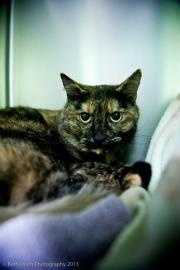 Katie, 2, is a gorgeous double pawed torti was found as a stray. She is a sweet girl who needs a forever family to call her own. For more on Katie, click here.