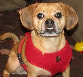 Otis is a 4 year old puggle who loves to be the center of attention. Otis loves to play ball and tug of war. He is a lovely boy who is looking for his forever home. For more on Otis, click here.