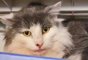 Vesuvius, 5, a former stray, is shy and loving. He loves to be petted and licks and gives kisses. Vesuvius is just waiting for the quiet, loving home to come and find him. Vesuvius is neutered, up to date on his vaccinations and microchipped. Click here for more.
