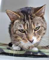 """Sox , 5, is laid back, easy going and just a great all around cat! Sox is Felv+, which means he will live a shorter life than a normal cat, but he is healthy and active now and just looking for a loving home to spend his years. Sox will be a """"care for life"""" cat, which means anything that is related to his Felv+ status will be taken care of by MRFRS. Sox is neutered, up to date on his vaccinations and microchipped. Click here for more."""