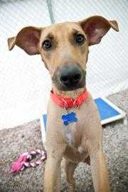 Jolly, 7 months, was rescued from Jamaica. She is spunky and energetic. Jolly went to a shelter in Jamaica after being abused by her male owner. The next door neighbor took her and brought her to the shelter. She is a bit fearful of men, but warms up quickly. She gets along well with other dogs. Click here for more.
