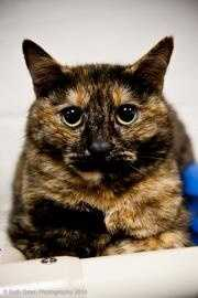 Katie, 2, is a gorgeous double pawed torti who was found as a stray. She is a sweet girl who needs a forever family to call her own. Click here for more.