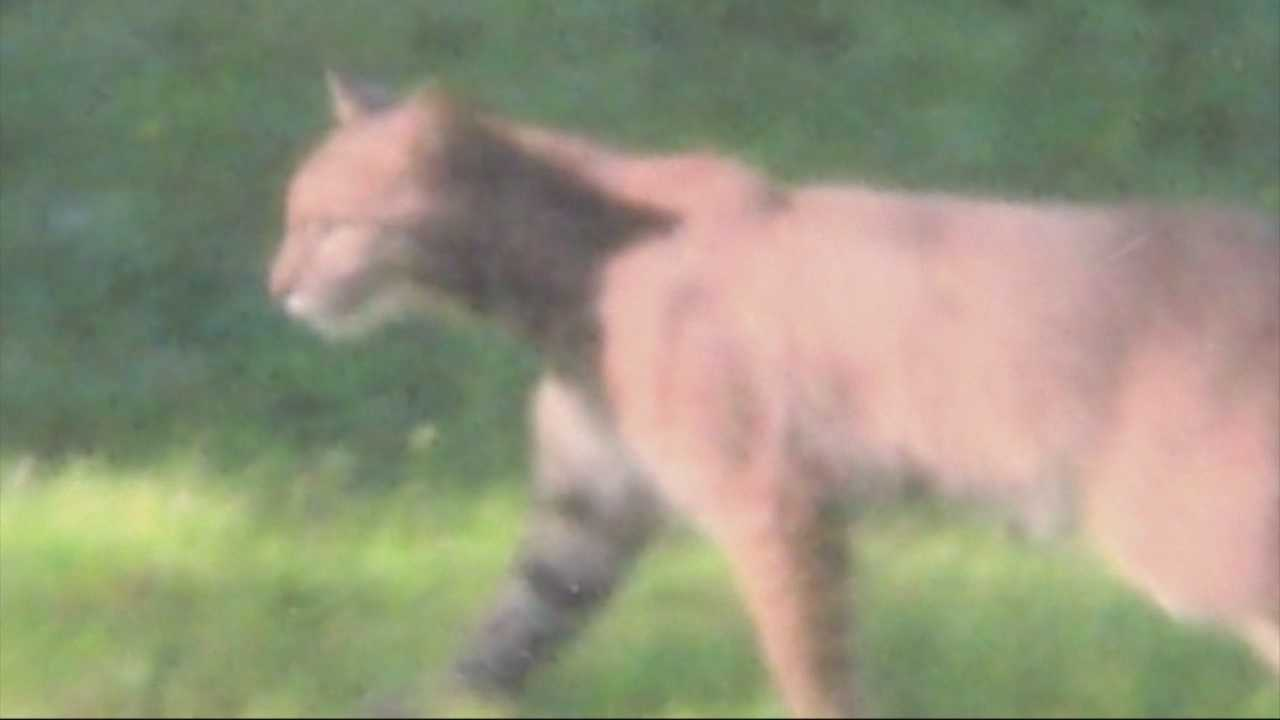 Bobcat spotted in Sharon neighborhood