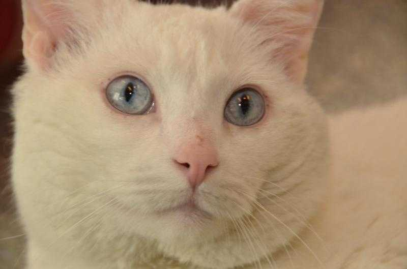 Al, aka Mr. Blue Eyes, is handsome, friendly and affectionate. He loves to be brushed and rarely jumps on counters. His favorite play time toys are feathery wands and mice on strings. Al is an indoor cat and has lived with children, but has no experience living with other pets. For more on Al, click here.
