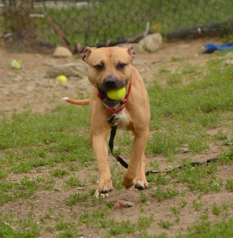 Bermuda, 3, a Pitbull, can be a shy guy at times, and would do best with owners that would give him a little bit of training. He would get along well with any other dogs and I might do OK with cats. Kids would be OK as long as they are older and have some dog experience. For more on Bermuda, click here.