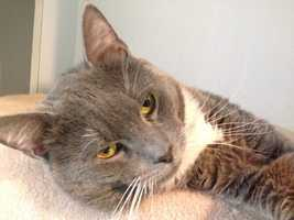 Cheeks is a very affectionate, handsome 1 year old cat that was found in a basement. Cheeks has an unknown history, but he is a delightful cat looking for a family to call his own. For more on Cheeks, click here.