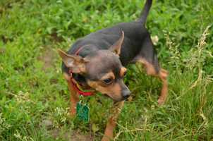 Chip, 10 mos, is a little, shy Chihuahua hoping to find his perfect home! He can be nervous in new households so he would fit in well with a quiet, low traffic adult home. He might get along with other dogs (especially if they are as small as he is) but he would need to meet them first. He would get along with cats, but no kids please! For more on Chip, click here.