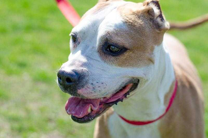 Egypt is a 8-year-old Pit Bull. She is gentle and sweet. She has enormous, expressive eyes with a white face and small rounded ears. She gets along with everyone but may need time to adjust to dogs she would live with. Egypt is affectionate and mellow. She is so cute, you will have a hard time resisting her. For more on Egypt, click here.