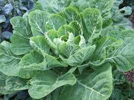 #10 Collard greens: 62.49 nutrient density score.