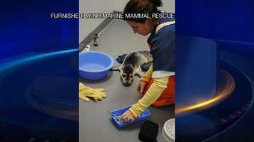 A New Hampshire Marine Mammal Rescue team saved the seal and brought her to a rehabilitation center in Buzzards Bay.