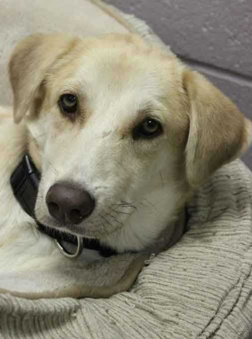 My name is Carlos and I am a 7-month-old male Labrador mix. I was rescued from Puerto Rico where I had a tough life, and I'm looking for a patient family to love me and give me time to adjust to my new surroundings. I love other dogs but I've never lived with cats, and I'm good with older kids (ages teens+). For more information contact Buddy Dog Humane Society, Inc. Sudbury, MA (978) 443-6990 or info@buddydoghs.com