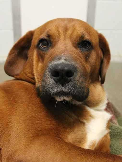 My name is Georgia! I am 1-year-old female Hound mix. I am loveable, sweet, and affectionate. I am a little shy with new people, but once I get to know you I will be your lap dog. For more information about me, please call, visit, or email the shelter! Buddy Dog Humane Society, Inc. Sudbury, MA (978) 443-6990 or info@buddydoghs.com