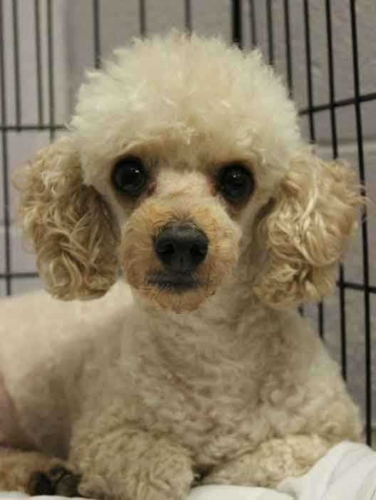 My name is Griffin and I am a 5.5-year-old male Toy Poodle. I get along with most dogs but I've never lived with cats. I am good with kids ages 8+. I am a sweet little guy and I'm looking for a quiet home. For more information, please call, visit, or email the shelter. Buddy Dog Humane Society, Inc. Sudbury, MA (978) 443-6990 or info@buddydoghs.com