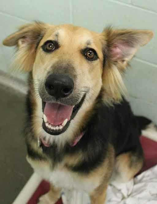 My name is Gucci and I am a 1-year-old female Collie mix. I am sweet, friendly, and active! I love to play and I'm looking for an active family. I get along well with other dogs, I seem to be good with cats, and I'm good with older kids (ages teens+). For more information, please call, visit, or email the shelter. Buddy Dog Humane Society, Inc. Sudbury, MA (978) 443-6990 or info@buddydoghs.com