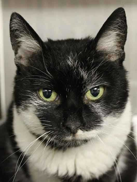 Lovely, 5, is friendly and sweet, and gets along well with older kids (ages 8+). She likes other cats but she's never lived with dogs. She will do well in a variety of family situations. For more information about me, contact Buddy Dog Humane Society, Inc. Sudbury, MA (978) 443-6990 or info@buddydoghs.com.
