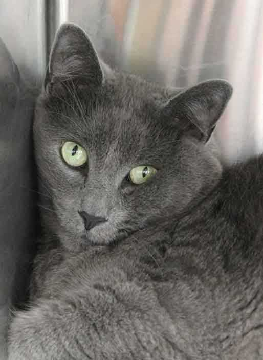 Rocky, 3, came to the shelter because his elderly owner could no longer care for him. He is friendly and gets along with kids ages 8+ and other cats. For more information contact Buddy Dog Humane Society, Inc. Sudbury, MA (978) 443-6990 or info@buddydoghs.com