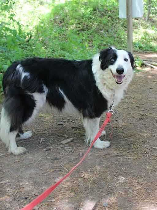 I'm Sierra, a 7-year-old female Border Collie. I am a dream: I know many commands, I walk well on a leash and I am housebroken. I'm affectionate and loving with people, and I am used to kids ages 5+. I get along well with cats, but true to my herding dog nature I am a little selective about my dog friends. For more information, contact Buddy Dog Humane Society, Inc. Sudbury, MA (978) 443-6990 or info@buddydoghs.com