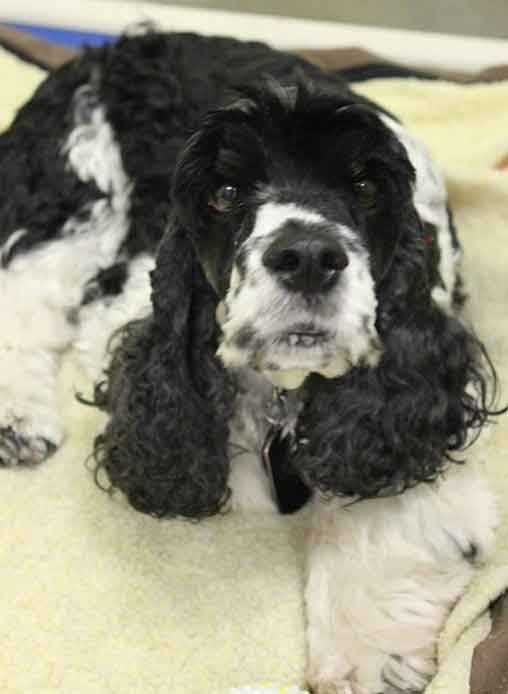 My name is Viko and I am a 4-year-old male Cocker Spaniel. My previous owners could no longer care for me, so I'm looking for a new home. I love other dogs and I get along well with cats. I am good with older kids (ages teens+). For more information, please call, visit, or email the shelter. Buddy Dog Humane Society, Inc. Sudbury, MA (978) 443-6990 or info@buddydoghs.com