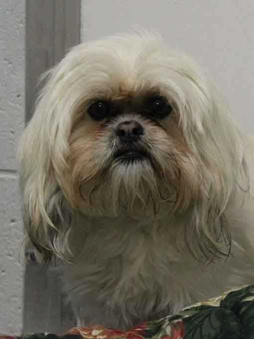I'm Zoey, a 3.5-year-old female Lhasa Apso. My elderly owner could no longer care for me so I'm looking for a new home. I am active and playful, and I love walks. I like to play with other dogs but I've never lived with cats. I am good with kids ages 8+. For more information contact Buddy Dog Humane Society, Inc. Sudbury, MA (978) 443-6990 or info@buddydoghs.com