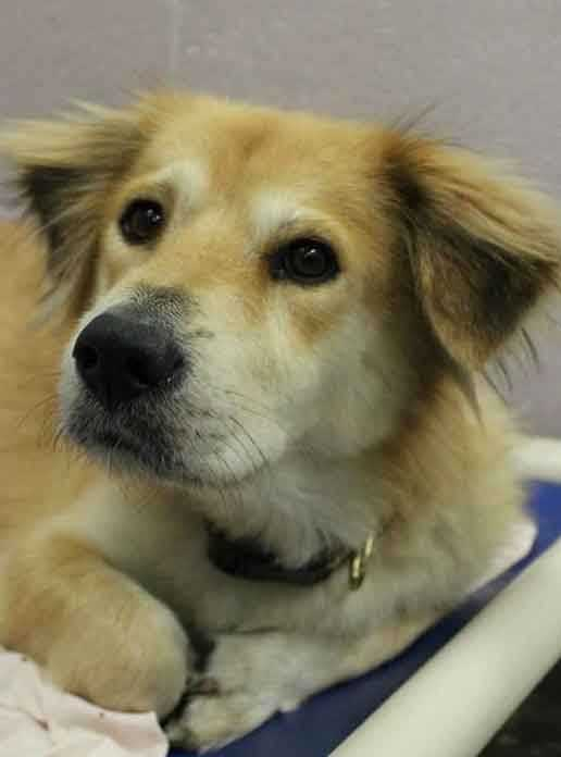 I'm Bob, a 5-year-old male Retriever mix. I came all the way from Puerto Rico to find a new home. I am clean and seem to be housebroken. I am good with other dogs, and I get along well with older kids (teens+). You will notice that my front paw is a little funny, but it doesn't slow me down and I can get along just fine! For more information, contact Buddy Dog Humane Society, Inc. Sudbury, MA (978) 443-6990 or info@buddydoghs.com