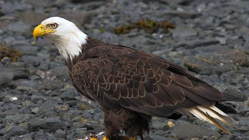 Bald eagle generic