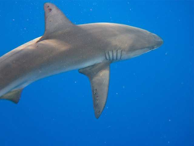 Each year, about 100 shark attacks are reported worldwide. In 2011, 17 shark attack fatalities were recorded, out of 118 attacks. To put it in perspective, about 240,000 people are injured by lightning worldwide each year, and an estimated 24,000 people are killed lightning strikes.