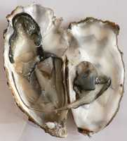Experts say only eat oysters that come out of the Pacific Northwest or New England&#x3B; colder waters where bacteria can't survive