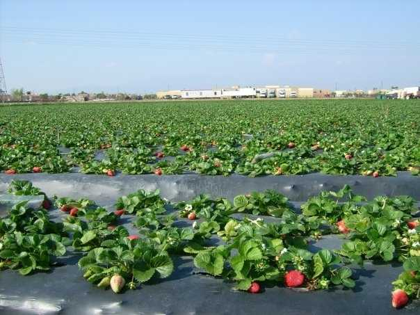 Strawberries and imported raspberries-have caused 25 outbreaks with more than 3,300 sicknesses between 1990 and 2009.