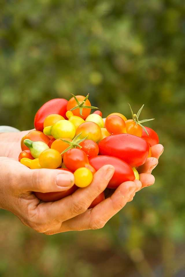 Tomatoes can be contaminated at just about any point from the field to manufacturer, which makes them particularly risky.