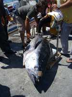 Tuna can be contaminated with a toxin known as scombrotoxin, which can form if fish isn't kept cool enough after harvesting, during processing or shipping.