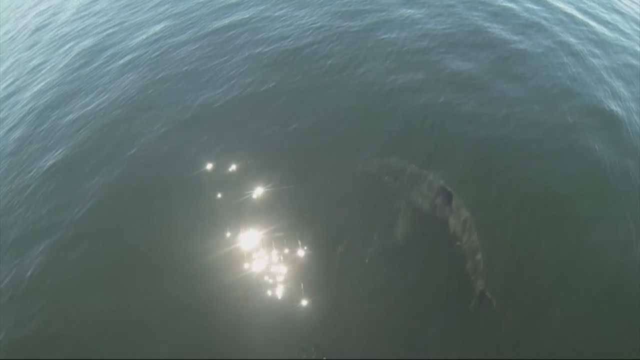 Sharks spotted off Cape Cod