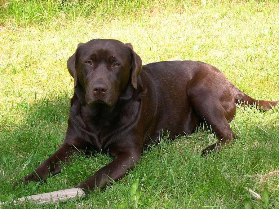 #1 Labrador Retriever