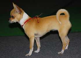 #7 Chihuahua