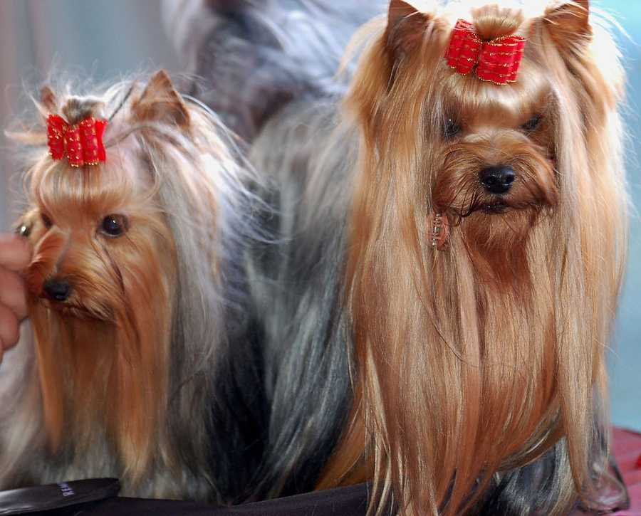#3 Yorkshire Terrier