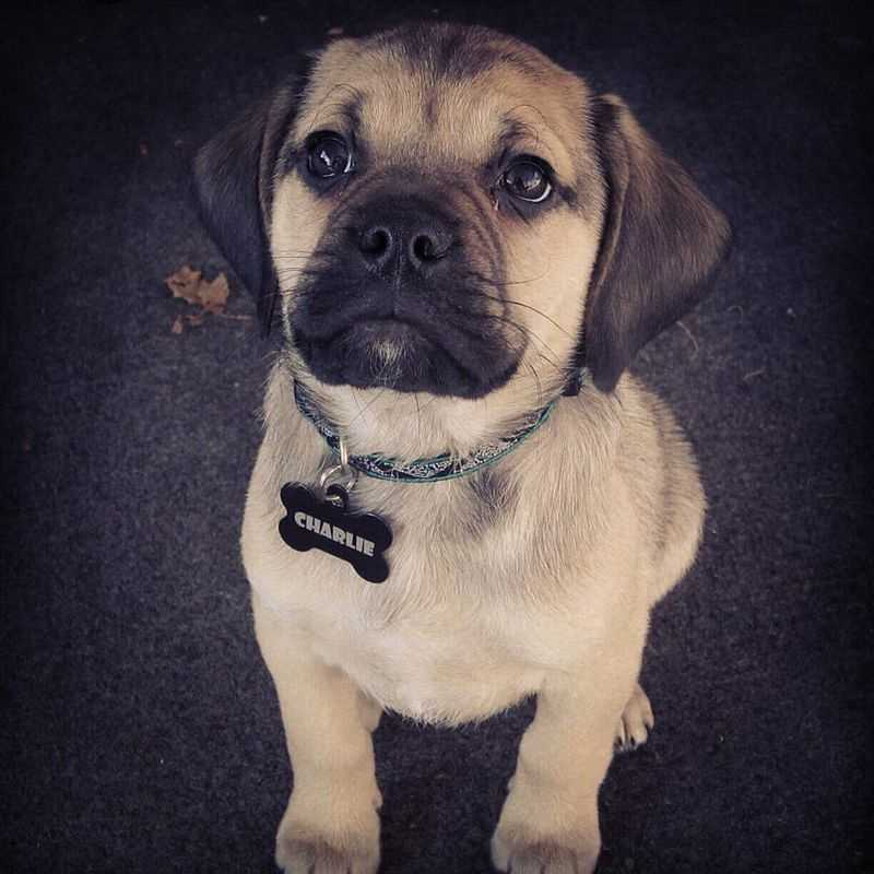 #1 Puggle(More common ranking in Massachusetts than anywhere else in North America.)