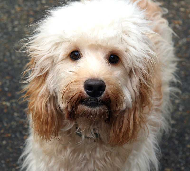 #2 Cockapoo(More common ranking in Massachusetts than anywhere else in North America.)
