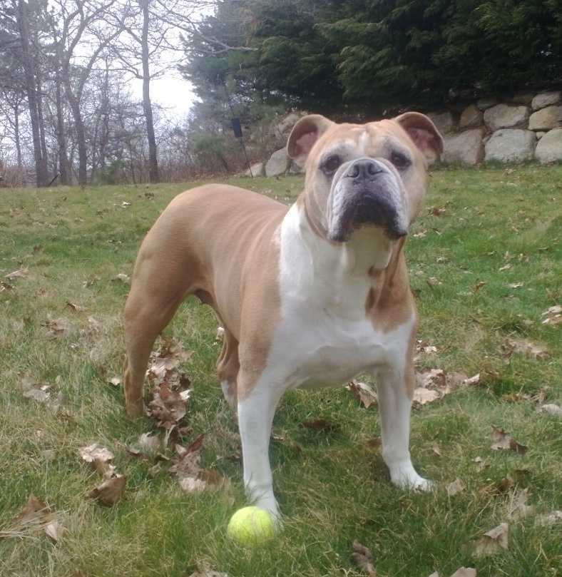 #4 Olde English Bulldog(More common ranking in Massachusetts than anywhere else in North America.)