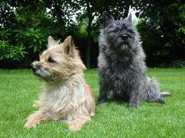 #5 Cairn Terrier(More common ranking in Massachusetts than anywhere else in North America.)