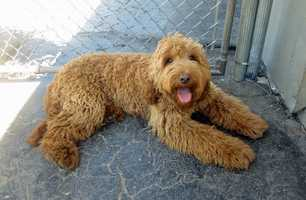 #8 Labradoodle(More common ranking in Massachusetts than anywhere else in North America.)