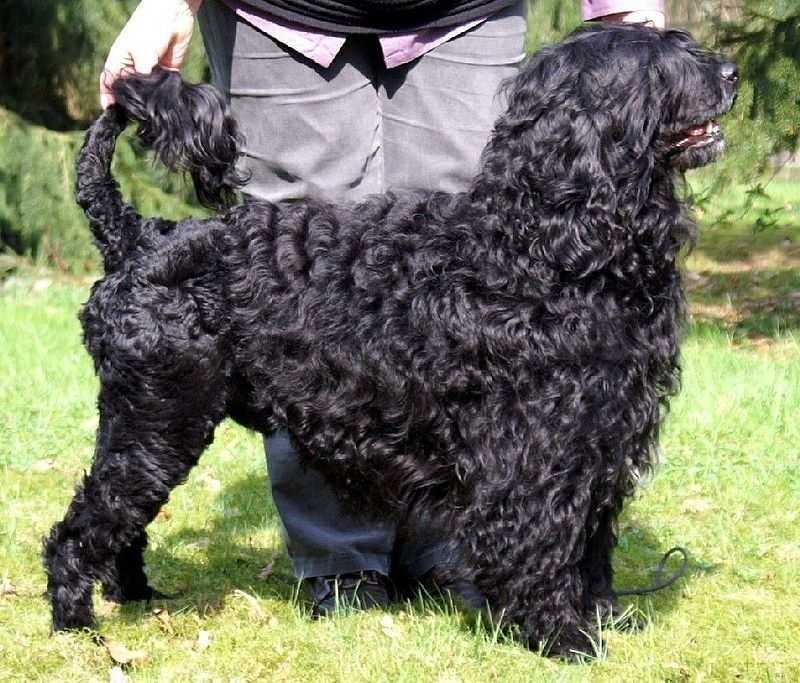 #10 Portuguese Water Dog(More common ranking in Massachusetts than anywhere else in North America.)