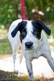 Dash is a sweet young boy whose father is a Great Dane and whose mother is a Cocker Spaniel. Dash is a little shy, but so, so sweet. He loves to snuggle with his people. This stunning boy loves his squeaky toys and simply wants a family of his own to play with! Dash is a graduate of the Camp Canine Training Program, but because he is so young his training consisted of being socialized, crate training and the beginnings of house training. Click here for more.