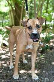 Faith is a young female boxer mix that was found as stray in KY. She is a nice small size and is very sweet. Faith is good with other dogs. She is a graduate of the Camp Canine Training Program where she learned some basic commands (sit, stay, down) and other skills she needs to interact politely with humans and other dogs. Click here for more.