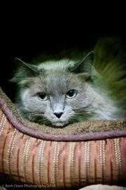 Jasmine is a sweet girl who used to live with other cats that picked on her. She has been living in fear and deserves a quiet home. She needs a home with no kids or dogs. She could do well with other cats if they are respectful. She is fearful of strangers, but once she gets to know you she will love you forever. She is a ragdoll and needs to be groomed to keep her gorgeous coat. Click here for more.