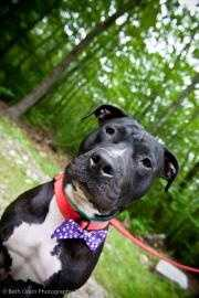 Mush, 2, is a gorgeous boy that was found wandering the streets with his pal Blush. He is incredibly affectionate and a wannabe lap dog. He walks well on leash, but does best with a harness since he is such strong boy. He does great in the kennel with other dogs and keeps his kennel clean. He seems to be a little too interested in cats to live with them. He would really thrive in a home where he could get plenty of exercise and would be a fun guy to train! Click here for more.