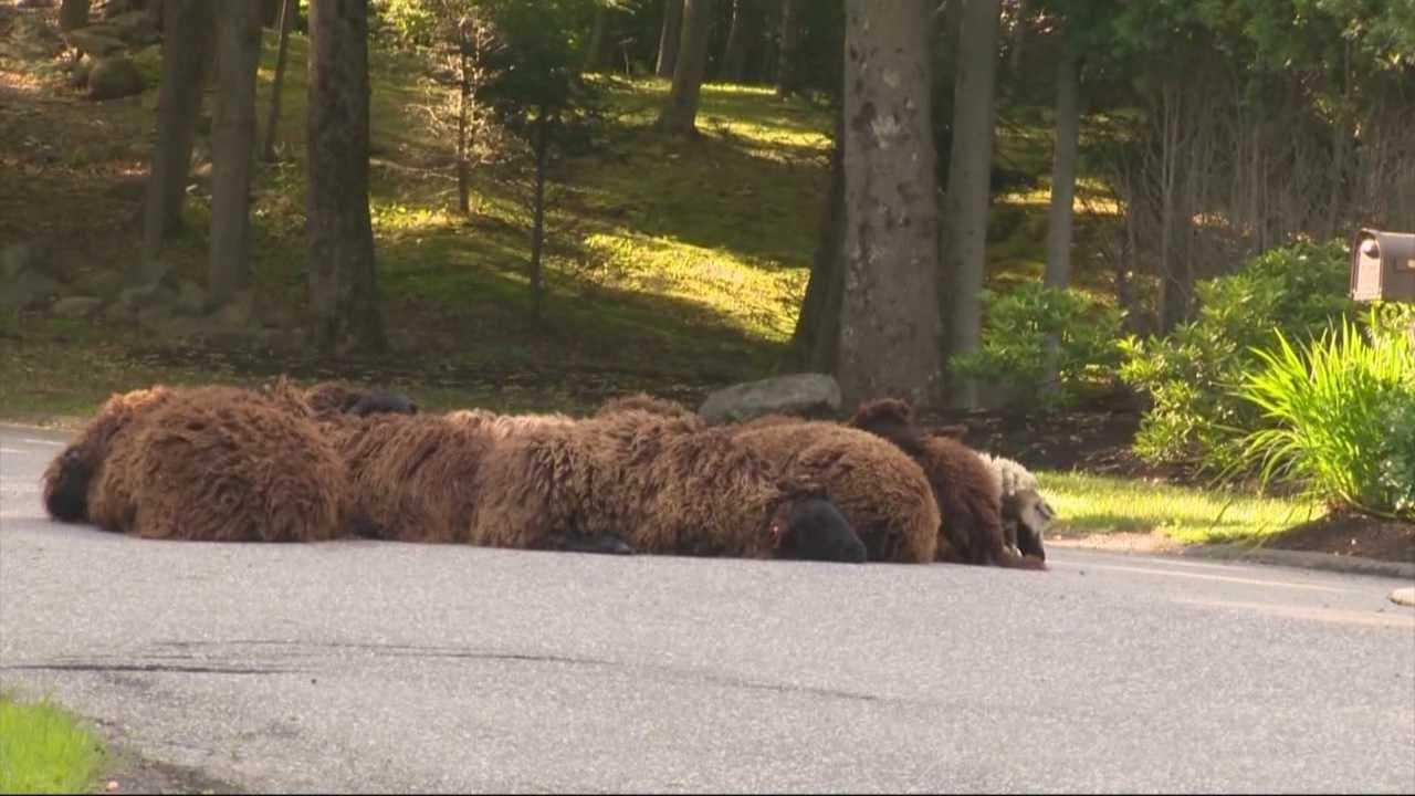 Lazy sheep cause traffic jam in Topsfield